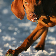 "(DENVER, Co. - Shot 1/13/2005).Tanner playing with other dogs at Berkeley Dog Park in Denver one afternoon. The Vizsla, as described in the American Kennel Club (AKC) standard, is a medium-sized short-coated hunting dog of distinguished appearance and bearing. Robust but rather lightly built; the coat is a golden-rust color. The coat could also be described as a copper/brown color. They are lean dogs, and have defined muscles, and are similar to a Weimaraner. Vizslas are lively, gentle-mannered, loyal, caring and highly affectionate. They quickly form close bonds with their owners, including children. Often they are referred to as ""velcro"" dogs because of their loyalty and affection. They are quiet dogs, only barking if necessary or provoked. They are natural hunters with an excellent ability to take training (American Breed Standard, AKC). Not only are they great pointers, but they are excellent retrievers as well..(Photo by MARC PISCOTTY / © 2005)."