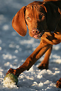 """(DENVER, Co. - Shot 1/13/2005).Tanner playing with other dogs at Berkeley Dog Park in Denver one afternoon. The Vizsla, as described in the American Kennel Club (AKC) standard, is a medium-sized short-coated hunting dog of distinguished appearance and bearing. Robust but rather lightly built; the coat is a golden-rust color. The coat could also be described as a copper/brown color. They are lean dogs, and have defined muscles, and are similar to a Weimaraner. Vizslas are lively, gentle-mannered, loyal, caring and highly affectionate. They quickly form close bonds with their owners, including children. Often they are referred to as """"velcro"""" dogs because of their loyalty and affection. They are quiet dogs, only barking if necessary or provoked. They are natural hunters with an excellent ability to take training (American Breed Standard, AKC). Not only are they great pointers, but they are excellent retrievers as well..(Photo by MARC PISCOTTY / © 2005)."""