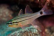 Ostorhinchus fukuii (Three-Line Cardinalfish)