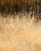 Wild grasses in autumn. Valle Vidal unit of the Carson National Forest in New Mexico.