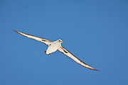 Laysan Albatross flying