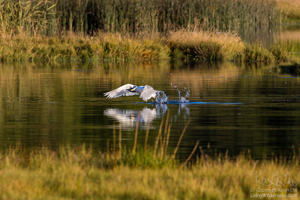 A western gull (Larus occidentalis) splashes water as it takes off from the Edmonds Marsh in Edmonds, Washington.