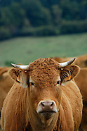 070928 VACHES