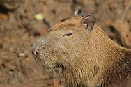 Capybara (Hydrochoerus hydrochaeris)<br /> PERU<br /> along Tambopata River<br /> 22-Nov-2015<br /> J.C. Abbott &amp; K.K. Abbott