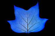 Structure of the leaf in blue