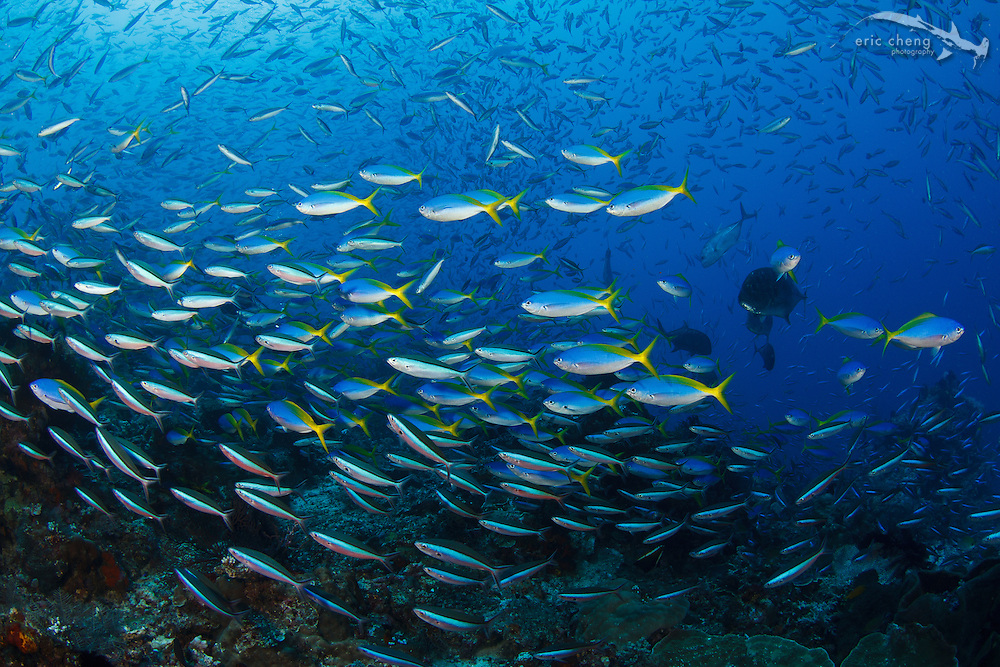 Schools of fish fill the water column at Castle Rock, Komodo National Park, Indonesia.