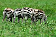 Common zebra ( Equus quagga ). Lake Nakuru.  Kenya. Africa