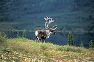 Barren Ground Caribou.Rangifer Tarandus.North America