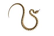 Juvenile ladder snake, Alicante, Spain