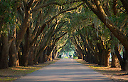 Live oaks form a tunnel-like canopy over the entrance road to Belfair Plantation.