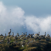 Dozens of brown pelicans preen themselves and rest as huge Pacific Ocean waves crash into their rocky bluff at Pescadero Beach, California.