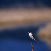 Northern Shrike. Kootenai National Wildlife Refuge, Bonners Ferry, North Idaho.
