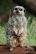 Meerkats & Mongoose