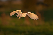 Barn Owl (Tyto Alba) adult in flight, hunting, Norfolk, UK.