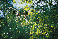 A proboscis monkey (Nasalis larvatus) leaps from branch to branch.