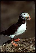 07: SEABIRDS PUFFINS