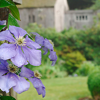 PURPLE CLEMATIS AND BARN