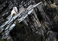 NEWS&GUIDE PHOTO / PRICE CHAMBERS.A mountain goat's feet are well adapted to climbing steep slopes, with inner pads and cloven hooves that grip slippery rock like these in Snake River Canyon on Sunday afternoon. The shy ungulate grows two coats of fur that can keep it warm to fifty degrees below zero. Both the male and female of the species grow beards and horns but the billie, or male goat grows larger..