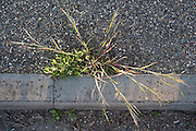 Grass explodes into life next to the curb stone  of the A435 by the road at Seven Springs, Gloucestershire