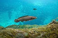 Bowfin, Underwater