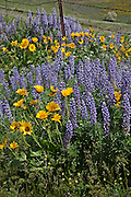 WA13085-00...WASHINGTON - A fence in the lupine and balsamroot covered meadow at Dalles Mountain Ranch in the Columbia Hills State Park.