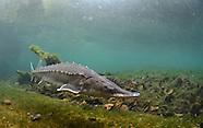 Atlantic Sturgeon, Underwater