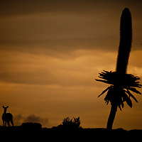 Mountain Nyala, Tragelaphus buxtoni, and giant lobelia silhouette against the sunset on the Sanetti Plateau in Bale Mountains National Park, Ethiopia