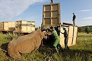 White Rhinoceros (Ceratotherium simum) sedated for relocation. Conservation Solutions team Vet Andre Uys &amp; Kester Vickery loading it into crate for transport<br /> Private Game Reserve<br /> SOUTH AFRICA<br /> RANGE: Southern &amp; East Africa<br /> ENDANGERED SPECIES