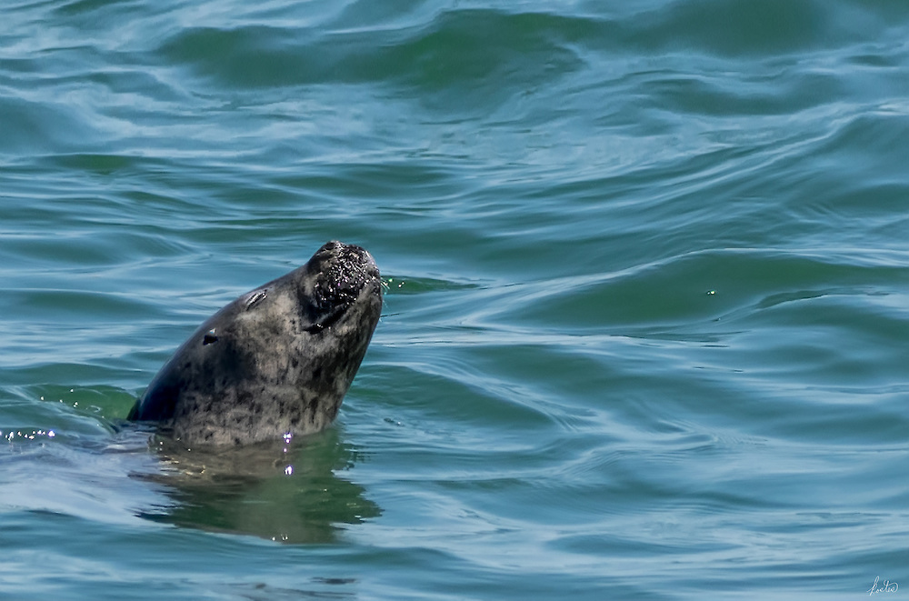 A seal enjoying a swim in the cold waters of Penboscot Bay on a hot summer's day.