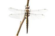 Slender Baskettail (Epitheca costalis) - male<br /> TEXAS: Jasper Co.<br /> Boykin Springs Recreation Area @ Hwy 63<br /> Angelina National Forest<br /> 31-Mar-2015<br /> J.C. Abbott #2707 &amp; K.K. Abbott