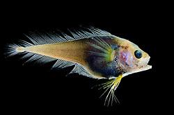 [captive] Deep sea Fish (Moridae sp.) Atlantic Ocean, close to Cape Verde  