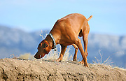 SHOT 12/25/2007 - Tanner, a three year-old male Vizsla scours the ground for smells in an arroyo in Albuquerque, N.M. The Hungarian Vizsla (pronounced VEEZH-luh (zh as in vision)), is a dog breed originating in Hungary. Vizslas are known as excellent hunting dogs, and also have a level personality making them suited for families.The Vizsla is a medium-sized hunting dog of distinguished appearance and bearing. Robust but rather lightly built, they are lean dogs, have defined muscles, and are similar to a Weimaraner but smaller in size. .(Photo by Marc Piscotty/ © 2007)