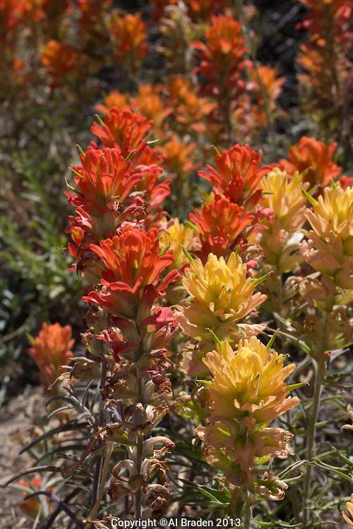 Whole Leaf Indian Paintbrush (Castilleja integra) Big Bend National Park, Texas
