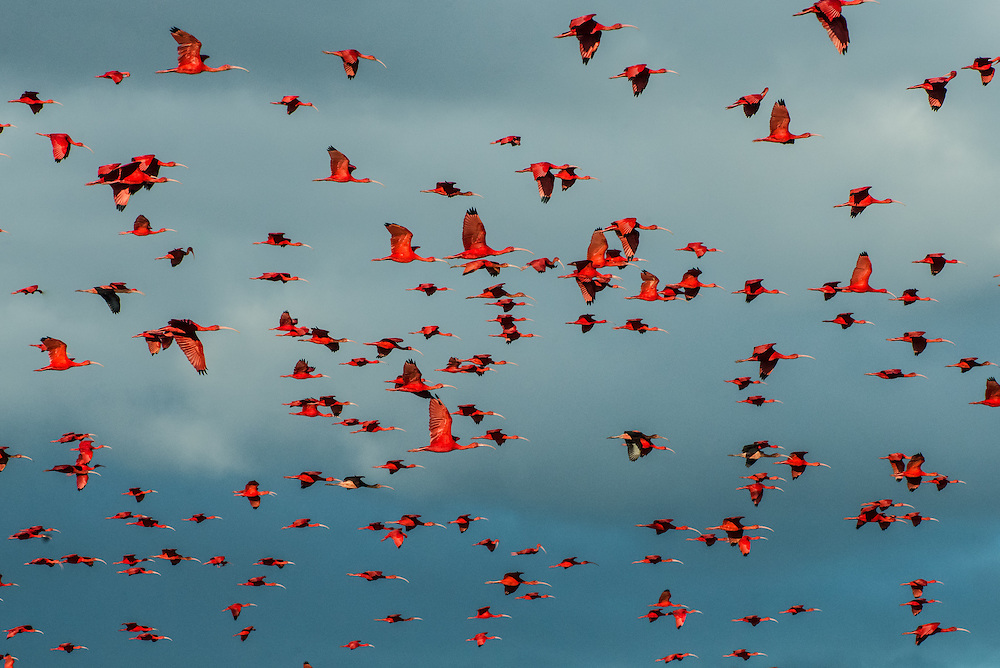 PORT OF SPAIN, TRINIDAD - FEBRUARY 14, 2017: Thousands of bright scarlet ibis (one of Trinidad's national birds) fly home to roost. It is the highlight of the bird-watching tour in Caroni Swamp run by Nanan's.  They offer  daily boat tours (60TT) at 4 p.m.; that take two-and-a-half hours. Guides steer green-painted pontoons down the calm waterways of the reserve, stopping to point out the different types of mangroves that line the banks, as well as snowy egrets, herons of all different hues and, depending on the day, caimans, anteaters and snakes hanging from tree branches. PHOTO: Meridith Kohut for The New York Times