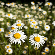 Wild daisies gone wild along the Dungeness River.