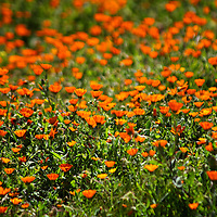 Africa, Morocco, Volubilis. Field of orange flowers at Volubilis.