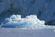 16: SVALBARD KITTIWAKES & TERNS ON ICE