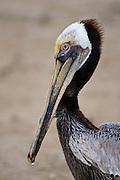 Brown Pelican on Olas Atlas Beach, Mazatlan, Mexico.