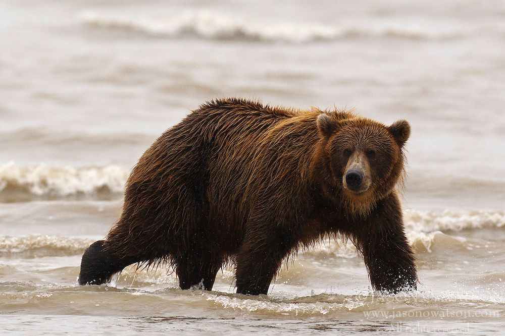 North American brown bear / coastal grizzly bear (Ursus arctos horribilis) sow searching for salmon in the Silver Salmon Creek, Lake Clark National Park, Alaska, United States of America