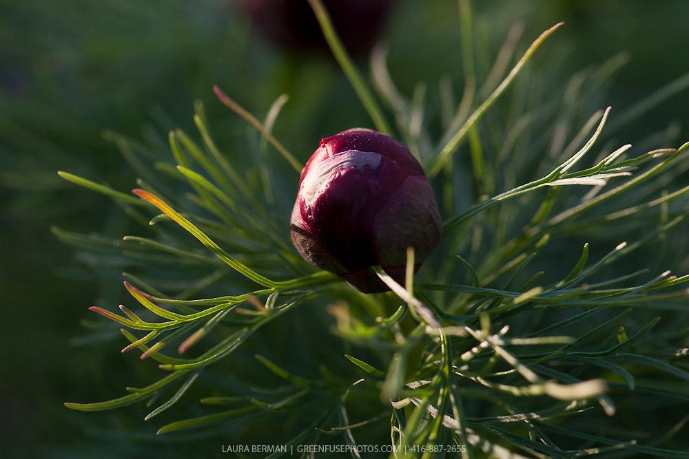Double Fern-leaved peony (Paeonia tenuifolia 'Plena').