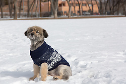 German Shepherd Mix dog wearing a Winter sweater in the snow