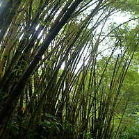 Hawaii Rainforest - Akaka