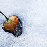 A dying poppy melts the snow. En valmue avslutter sin blomstring med å smelte snøen med sitt solvarme hode.Legg merke til at den lager en hjerteformet smeltefasong.