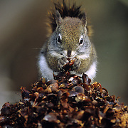 Red squirrel on cone midden eating douglas fir cones. Yaak Valley in the Purcell Mountians, northwest Montana.
