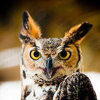 SARASOTA, FL -- October 2012 -- A great horned owl sits in a cage at Save Our Seabirds (S.O.S.) on City Island in Sarasota, Florida.  (PHOTO / CHIP LITHERLAND)