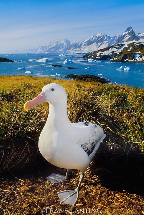 Wandering albatross, Diomedea exulans, South Georgia Island