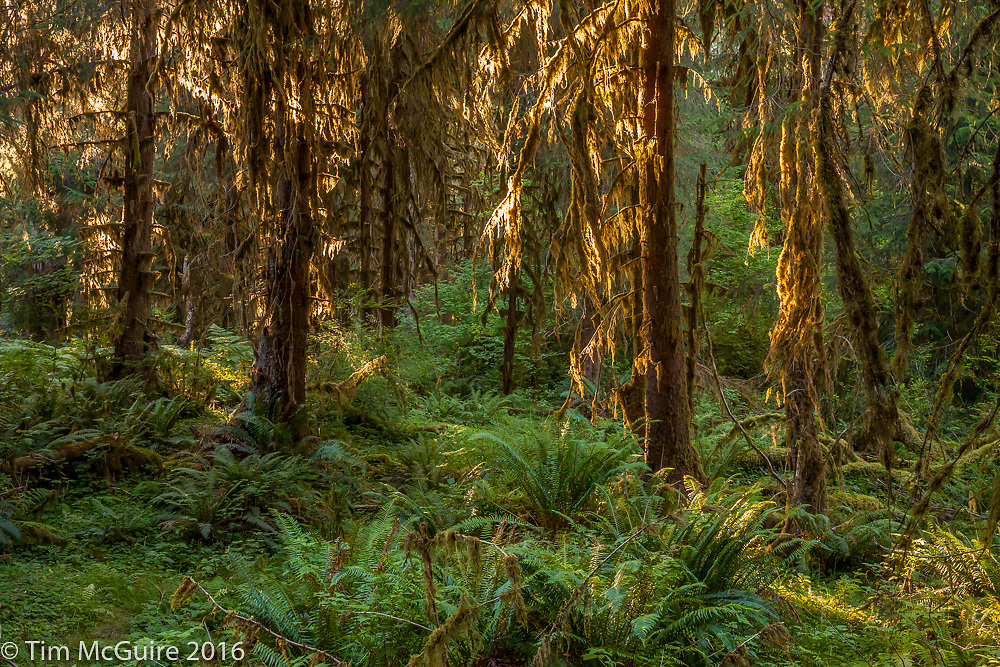 Hoh rain forest, Olympic National Park, Washington.