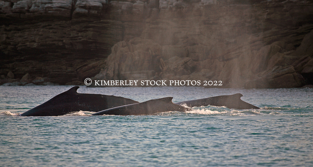 A pod of humpback whales on the move in Camden Sound on the Kimberley coast.