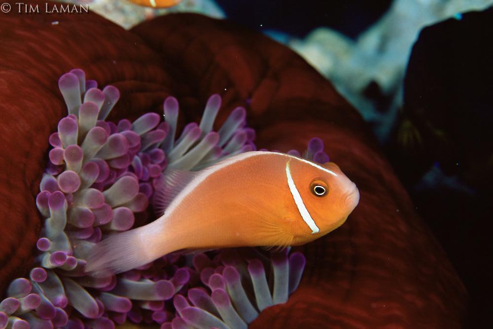 Pink anemonefish (Amphiprion perideraion).  Gau Island, Fiji.  Oct 2003.