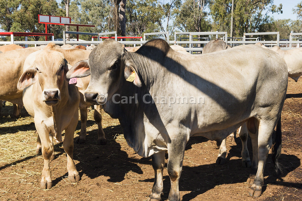 Mix of beef cattle including Brahman bulls  in stock yards  awaiting livestock sales at Liveweight Stock Complex, Moura, Queensland, Australia